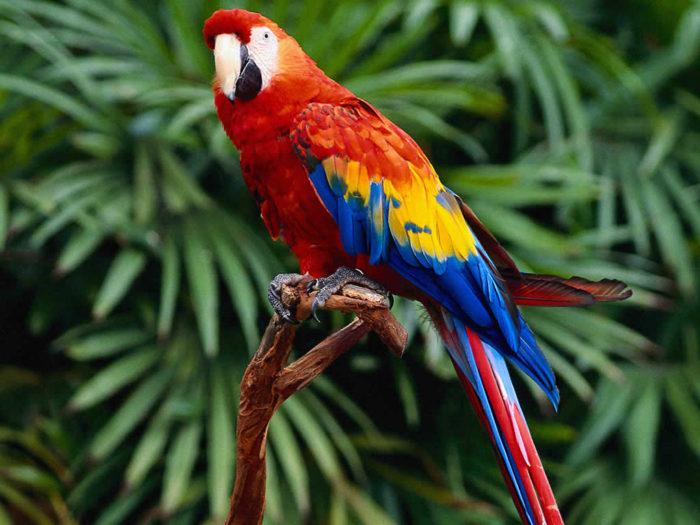 L'Duchen Parrot